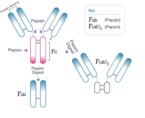 Fab Fragmentation