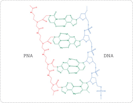 Pna Peptide Nucleic Acid As A More Stable Alternative To Dna And