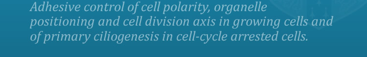Adhesive control of cell polarity, organelle positioning and cell division axis in growing cells and of primary ciliogenesis in cell-cycle arrested cells