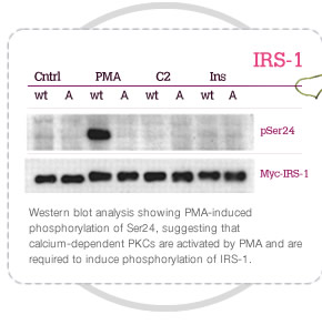 Western blot analysis showing PMA-induced phosphorylation of Ser24, suggesting that calcium-dependent PKCs are activated by PMA and are required to induce phosphorylation of IRS-1.