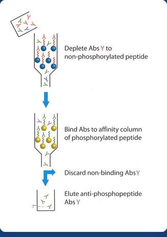 Purification of anti-phosphoresidue antibodies