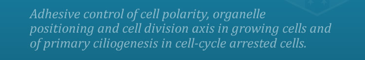 Adhesive control of cell polarity, organelle positioning and cell division axis in growing cells and of primary ciliogenesis in cell-cycle arrested cells.