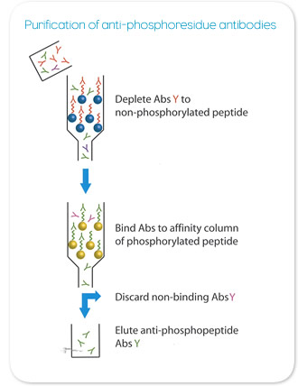 Purification Diagram