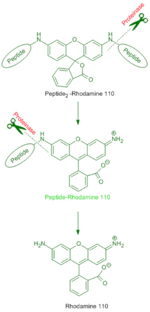 Rhodamine 110 based speciality peptides